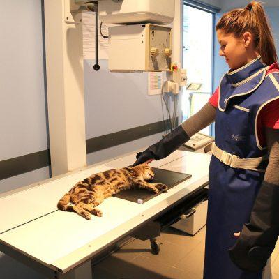 Radiographie d'un chat