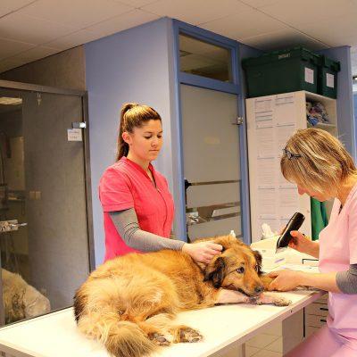 Prise de sang sur un chien